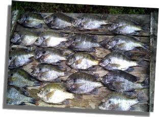 okeechobee bluegill fishing  lake okeechobee florida