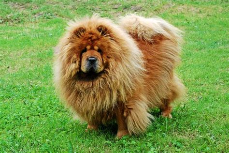 chow chow breed breed of the week chow chow nation