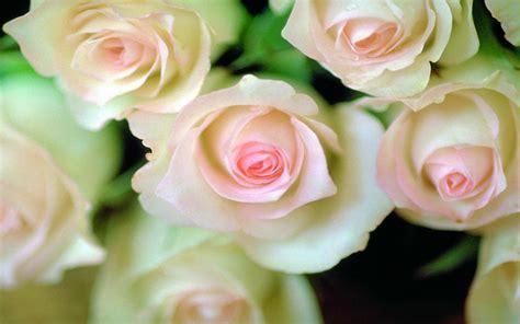imagenes de rosas rojas y rosadas rosas blancas im 225 genes y fotos