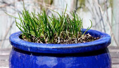 erba cipollina in vaso erba cipollina aromatiche conoscere l erba cipollina