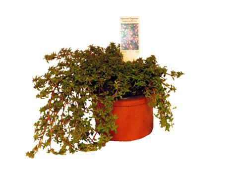 winterharte pflanzen für den garten 5 k 252 mmel thymian lexikon f 252 r kr 228 uter und pflanzen