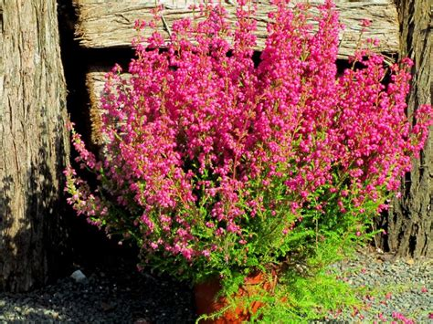 erika pflanze erica gracilis sommererika glockenheide erika