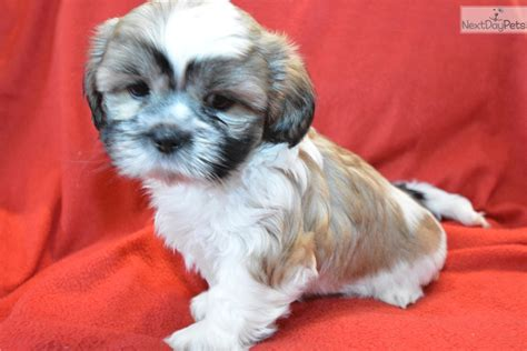shih tzu puppies bay area shih tzu puppy for sale near ta bay area florida eea0c09c 7be1