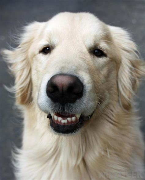 how bad do golden retrievers shed what are the best breeds of for with allergies