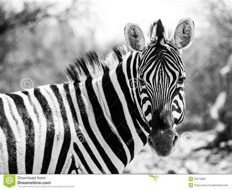 black and white zebra ls zebra portrait in black and white stock photo image