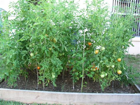 tomatoes  raised bed growin crazy acres
