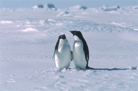 libro snow country penguin modern antarctic animal adaptations penguins seals krill whales