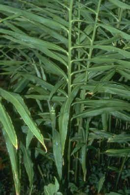 sifa evi bitkiler zencefil bitki