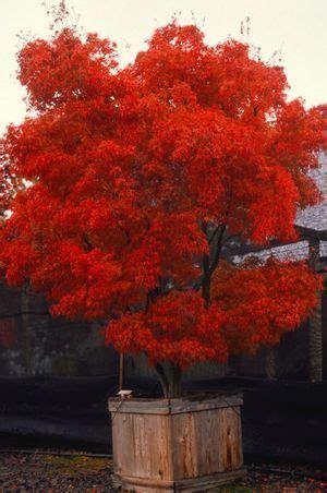 maple tree zone 6 acer palmatum linearilobum cloud cloud upright japanese maple zone 5 8 height 6 8