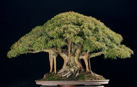 bonzi tree the art of bonsai project art of bonsai awards 2008