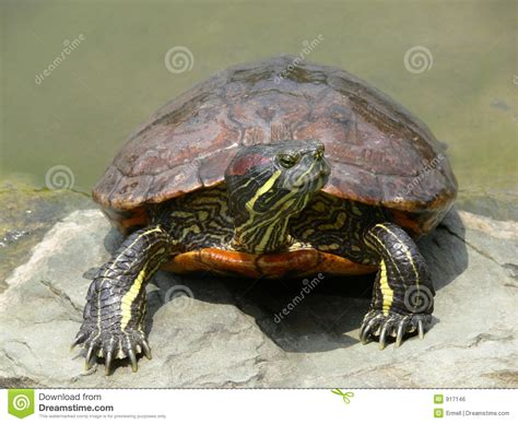 Heat L For Aquatic Turtles by Water Turtle Royalty Free Stock Image Image 917146