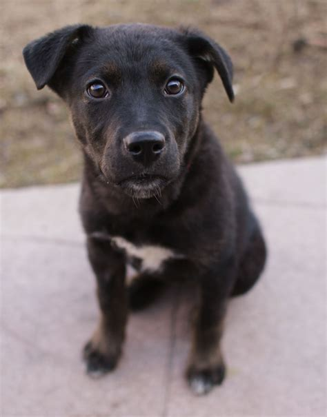 black lab pitbull mix puppy black lab mix with pitbull breeds picture