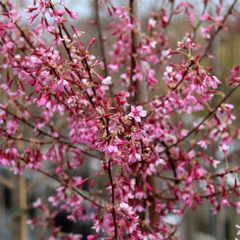 prunus okame harlequin flowering cherry tree mail order trees