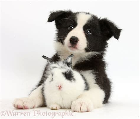 black and white border collie puppy pets black and white border collie pup and baby bunny photo wp36137