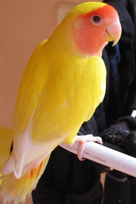 Lovebird Lutino Opaline 17 best images about animals lovebirds on