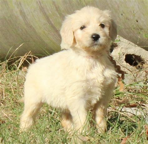 goldendoodle puppies for sale in sc page title