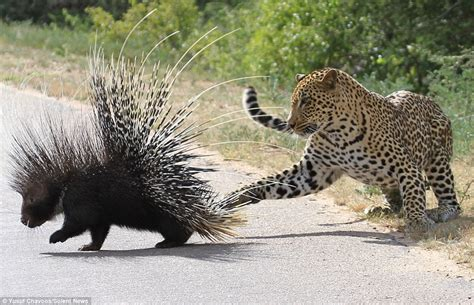 Jaguar Enemies Leopard Ends Up With A Porcupine S Quill Up Its Nose After