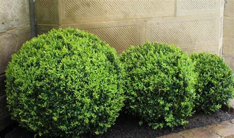 english box topiary ball   plants garden