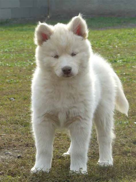 siberian huskies puppies puppies and dogs pictures siberian husky breeders pictures