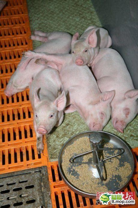 edan babi  menjadi makanan populer  indonesia