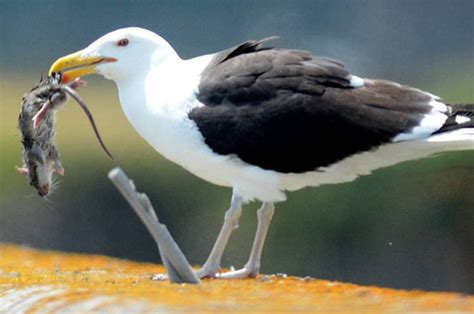 seagulls are now eating rats daily star