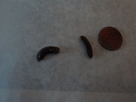 bathroom worms black tiny black worms pictures to pin on pinterest pinsdaddy