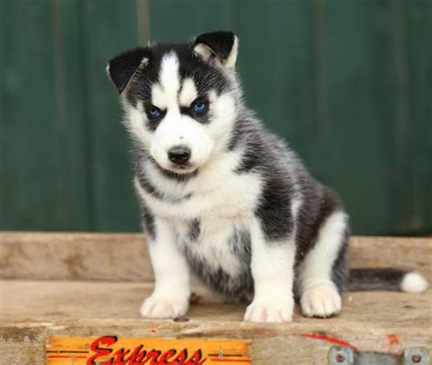 siberian husky puppies for sale in pa cheap husky puppies for sale in northern ky wroc awski informator internetowy wroc aw