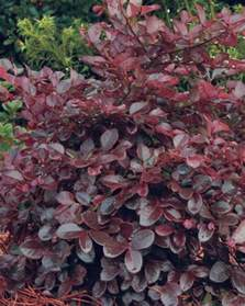 bloom feature magenta ribbons in spring plant type shrubs