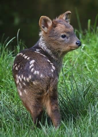 deer breeds pudu is the world s smallest and most adorable species of deer greenamajigger