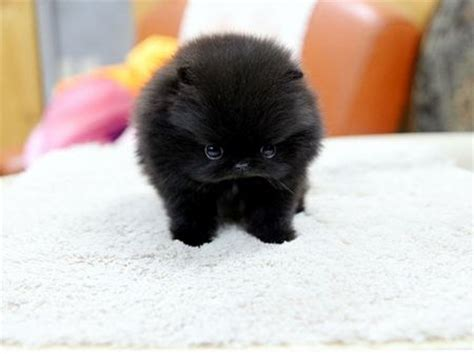black teacup pomeranian puppies black teacup pomeranian doggies coats i am and i want