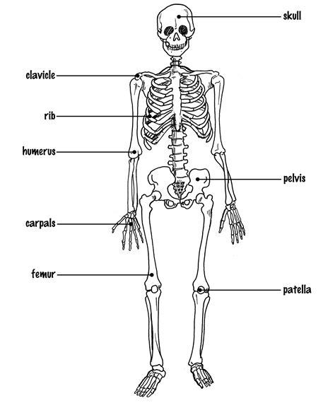 basic diagram basic skeleton diagram anatomy organ