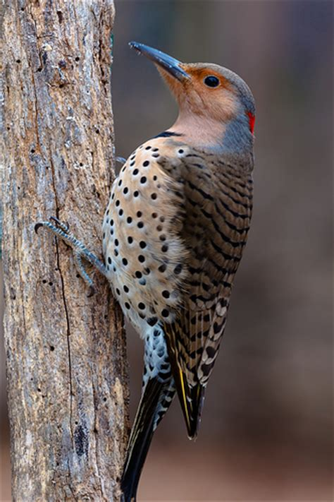 female northern flicker woodpecker flickr photo sharing