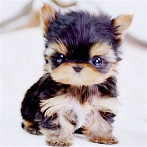 newborn teacup yorkie baby teacup yorkie animals