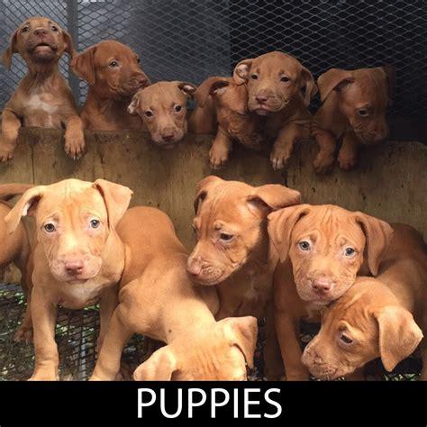 puppy culture breeders pitbull pitbull puppies adba apbt puppies gr ch mayday pitbull pitbull puppies