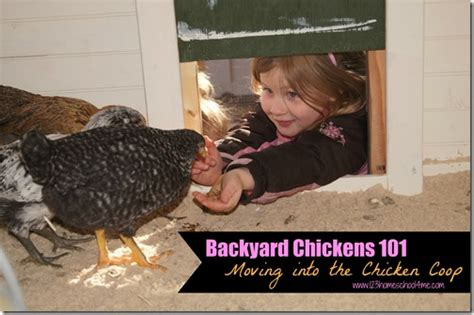 backyard chickens 101 backyard chickens 101 moving into the chicken coop