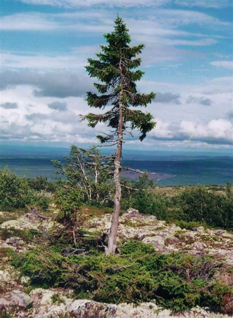 Superb 16 Foot Christmas Tree #1: Old-swedish-tree.jpg