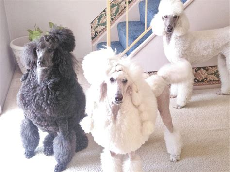 akc marketplace puppies poodle puppies for sale akc marketplace