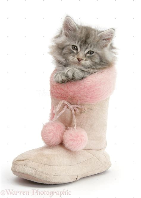 In A by Maine Coon Kitten In A Pink Boot Photo Wp35368