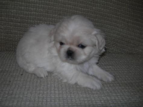 puppy store at doral pekingese the puppy store breeds picture