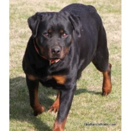 rottweiler puppies for sale bakersfield ca sky ranch rottweilers rottweiler breeder in bakersfield california