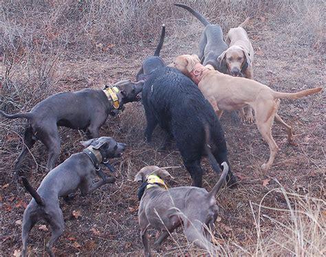 hog dogs hog dogs the best breeds for hog breeds picture