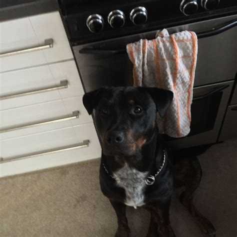 rottweiler staffy rottweiler x staffy lincoln lincolnshire pets4homes