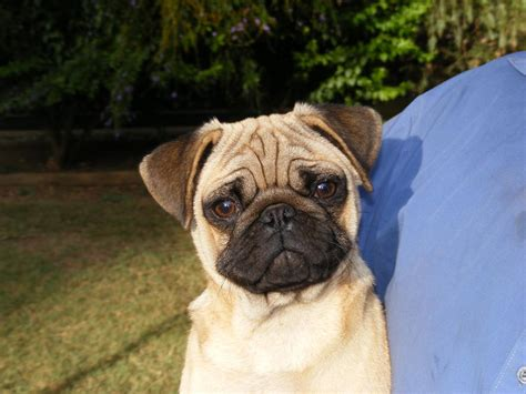 pugs for sale geelong for sale pug
