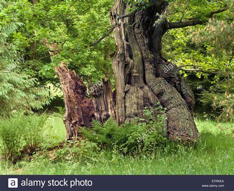 oak tree woodworking broken oak tree trunk in wood derbyshire
