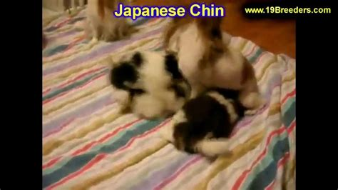 puppies for sale in wv craigslist japanese chin puppies dogs for sale in charleston west virginia wv 19breeders