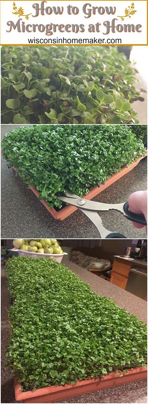grow microgreens growing microgreens hydroponic