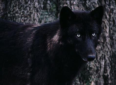 imagenes de negro lobo lobo negro hd imagenswiki com