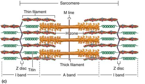 5 proteins of myofilaments anatomy chapter 10 tissue and organization at