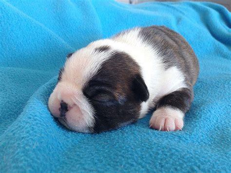boston terrier puppies ta boston terrier hund in schweiz boston terrier welpen kaufen verkaufen schweiz