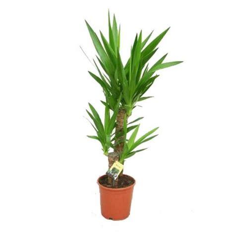 Supérieur Plante Verte D Interieur Facile D Entretien #3: 19-07-2012_yucca.jpg